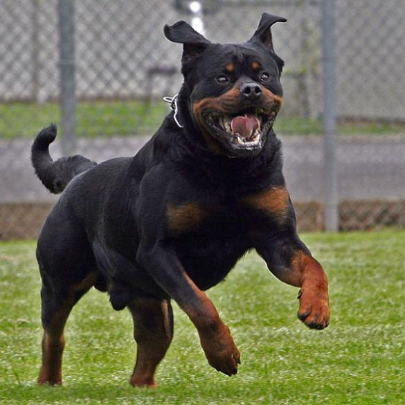Runner aggredito da un rottweiler mentre corre in città
